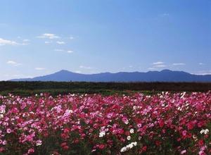 新庄町のコスモス畑