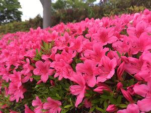 鮮やかなピンク色のツツジ