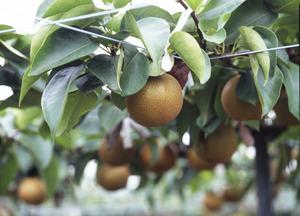 「もりやまフルーツランド」の梨