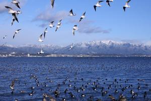 たくさんの水鳥!背景は比良山系