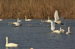 湖北水鳥センターの近くにはコハクチョウが毎年訪れます